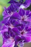 Gladijole blomma Royaltyfria Bilder