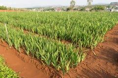Gladiolöss planterar i dalat- Vietnam, på kullen, röd soild, rad vid rad Royaltyfri Fotografi