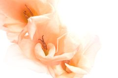 Gladiola Abstract Background Stock Image