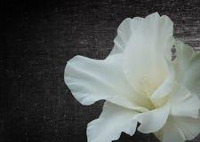 Gladiola-Blumenhintergrund Lizenzfreie Stockbilder