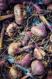 Gladiola bulbs ready for planting Stock Photo