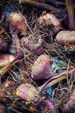 Gladiola bulbs ready for planting Stock Photography
