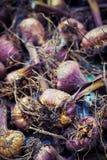 Gladiola bulbs ready for planting. Detail shot Stock Photos
