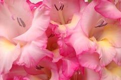 Gladiola Close-Up Semi-Abstrac. Extreme close-up of several pink and white gladiola blooms producing a semi-abstract effect Royalty Free Stock Image