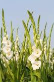 Gladiola flowers Royalty Free Stock Photography