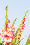 Gladiola flowers Stock Images