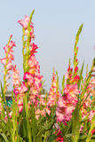 Gladiola flowers Stock Photography