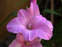 gladiola purpurowy Zdjęcia Royalty Free