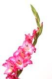 Gladiola rose et blanc Photographie stock libre de droits