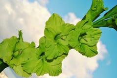 Gladiola verde Fotografia Stock Libera da Diritti