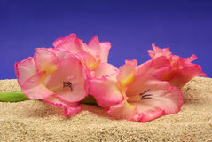 Gladiolas. On Sand with Blue Background Stock Photography