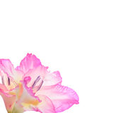 Gladiolas photo stock