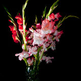 Gladiolas. A vase full of pink and red gladiolas isolated against a black background Stock Image
