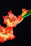 Gladiolas closeup Stock Photography