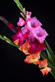Gladiolas closeup. The red, rose and orange sword lily closeup Royalty Free Stock Photo