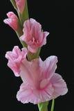 Gladiolas cor-de-rosa Imagem de Stock