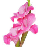 Gladiolas Isolated. Pink Gladiolas Isolated on a white background Royalty Free Stock Photos