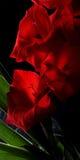 Gladiolas rojo en cierre del florero para arriba Imágenes de archivo libres de regalías