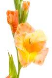 Gladiole lokalisiert Lizenzfreies Stockfoto