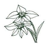 Gladiole murielae (Skizze) Stockfotografie