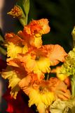 Gladiole unter der Sonne Lizenzfreie Stockfotografie