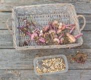 Gladiolebirnen nach dem Ende der Jahreszeit auf einem Abtropfbrett Lizenzfreie Stockbilder