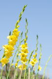 Gladioleblume Lizenzfreies Stockbild