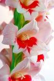 Gladiolen Stock Foto