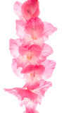 Gladiolen Stock Afbeeldingen