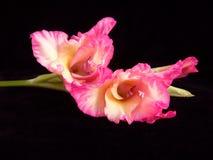 Gladiolen Stock Foto's