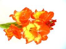 Gladiolen Stock Afbeelding