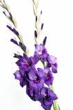 Gladiolen Royalty-vrije Stock Afbeeldingen