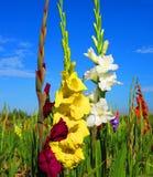 Gladiolen Royalty-vrije Stock Fotografie