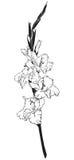 Gladiolen Stock Fotografie