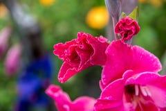 Gladiolen Royalty-vrije Stock Foto's