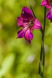 Gladiolen Royalty-vrije Stock Foto