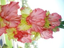 Gladiolen Royalty-vrije Stock Afbeelding