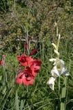 Gladiolen onder koude de herfstzon Royalty-vrije Stock Afbeelding