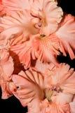 Gladiolen op een zwarte achtergrond Royalty-vrije Stock Fotografie