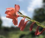 Gladiolen tegen de hemel Stock Foto