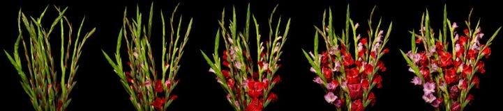 Gladiolen tijd-Tijdspanne Reeks Stock Afbeeldingen