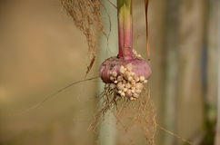 Gladiolenbol royalty-vrije stock afbeeldingen