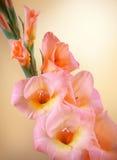 Gladioleniederlassung mit rosa Blumen und den Knospen Lizenzfreie Stockfotos