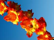 Gladiolensinaasappel Royalty-vrije Stock Afbeelding