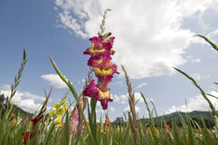 Gladioli. Blooming gladioli in a field Stock Photo