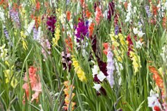 Gladioli Stock Photography