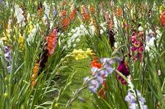 Gladioli royalty-vrije stock fotografie