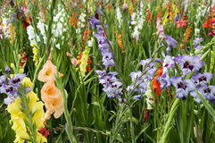 Gladioli. Blooming gladioli in a field Stock Images