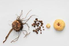 Gladioli bulbs Stock Images