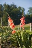 Gladioli nel giardino immagini stock